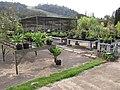 Starr-120608-7231-Agave attenuata-habit-Greenhouse Ulupalakua Ranch-Maui (25051936141).jpg