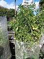 Starr-130114-1412-Solanum lycopersicum-fruiting habit-Paia-Maui (25204533145).jpg