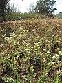 Starr-130320-3464-Parthenium hysterophorus-flowers-Mokolea Pt Kilauea Pt NWR-Kauai (24582404083).jpg