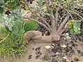 Starr-130422-4224-Calotropis procera-gnarly old trunk-Kahului-Maui (24579719834).jpg