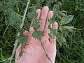 Starr-140603-0635-Rubus niveus-leaves with chewing-Waipoli Rd-Maui (25216660906).jpg