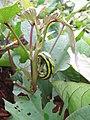 Starr-141217-5585-Ipomoea batatas-plantings with sweet potato hornworm Agrius cingulata larva-Lua Makika-Kahoolawe (25223214636).jpg