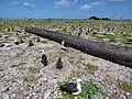 Starr-150328-0859-Coronopus didymus-giant log and Laysan Albatrosses-Central Eastern Island-Midway Atoll (25269329785).jpg