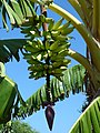 Starr-151029-0370-Musa x paradisiaca-Maia Iholena Upehupehu fruit-Maui Nui Botanical Garden Kahului-Maui (26216193811).jpg
