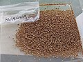 Starr-170821-0416-Triticum aestivum-Marquis homegrown threshed cleaned-Hawea Pl Olinda-Maui - Flickr - Starr Environmental.jpg