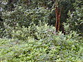 Starr 011205-0045 Rhodomyrtus tomentosa.jpg
