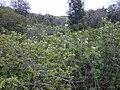 Starr 020103-0003 Montanoa hibiscifolia.jpg