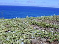 Starr 020530-0025 Jacquemontia ovalifolia subsp. sandwicensis.jpg