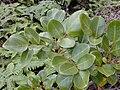 Starr 020925-0122 Tetraplasandra oahuensis.jpg