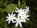 Starr 030602-0071 Jasminum multiflorum.jpg
