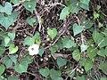 Starr 030612-0052 Ipomoea obscura.jpg