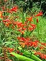 Starr 050817-3945 Crocosmia x crocosmiiflora.jpg