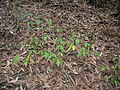 Starr 051123-5473 Rubus glaucus.jpg