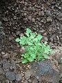 Starr 060228-8877 Chenopodium oahuense.jpg