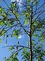 Starr 061231-3042 Prunus persica.jpg