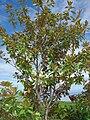 Starr 070830-8223 Magnolia grandiflora.jpg