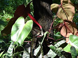 Starr 071024-9943 Philodendron sp..jpg