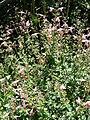 Starr 080219-3007 Salvia coccinea.jpg
