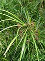 Starr 080609-8008 Cyperus involucratus.jpg