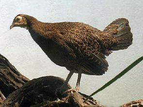 Gabelschwanzhuhn (Gallus varius)