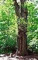 Stiel-Eiche-Quercus robur-2. 9-8-B.jpg