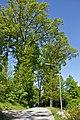 Stieleichenallee Langauer Straße Litschau 2014-05 01 NÖ-Naturdenkmal GD-127.jpg