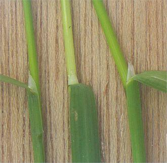 Poa annua - Image: Straatgras tongetje (Poa annua ligula)