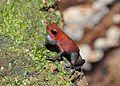 Strawberry poison-dart frog (Oophaga pumilio or Dendrobates pumilio) (9463812699).jpg