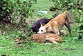 Stray dogs killing spotted deer fawn Muthanga wayaanad kerala India.jpg
