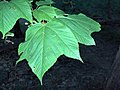 Striped Maple leaves (2985683506).jpg