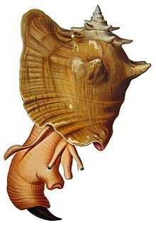 Colored drawing of large sea snail, soft parts protruding, showing snout, eyestalks and foot with claw-shaped operculum