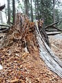 Stump, Yosemite National Park, CA, USA (9537057442).jpg