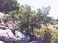 Stunted Maurocenia tree on Table Mountain rockfall scree slope.jpg