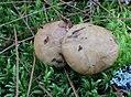 Suillus glandulosipes Thiers & A.H. Sm 464166.jpg