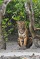 Sundarban Tiger sitting.jpg