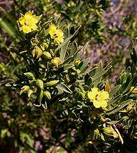 Suriana maritima flowers
