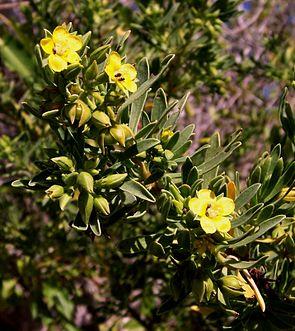 Suriana maritima, Habitus und Blüten.