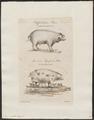 Sus scrofa domestica - 1700-1880 - Print - Iconographia Zoologica - Special Collections University of Amsterdam - UBA01 IZ21900125.tif