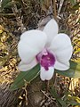 Suvarnabhumi Orchids Farm IMG 20160322 080427 (27447083815).jpg