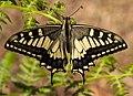 Swallowtails Span Butterfly (263053801).jpeg