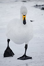 Swan walking on ice.jpg