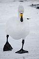 Swan walking on ice.jpg