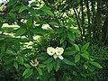 Sweetbay Magnolia Magnolia virginiana Branches 2816px.jpg