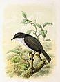 Sylvia curruca 1869.jpg