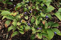 Symplocos-paniculata-foliage