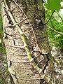 Syngonium podophyllum (Araceae) 06.jpg