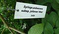 Syringa pubescens, Kornik (2).JPG