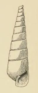 <i>Iphiana tenuisculpta</i> species of mollusc
