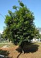 Syzygium jambosTree1.jpg