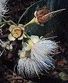 Syzygium mundagam 19.JPG